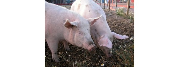 Eating Pig meat now safe with moderrn controls